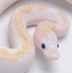 Les Reptiles, Cute Reptiles, Reptiles And Amphibians, Reptiles Preschool, The Animals, Baby Animals, Pretty Snakes, Beautiful Snakes, Amazing Animals