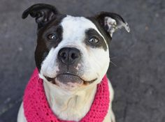 TO BE DESTROYED SUNDAY, 3/16/14  Manhattan Center    My name is CHRISSY. My Animal ID # is A0993487.  I am a female white and black pit bull mix. The shelter thinks I am about 3 YEARS old.   I came in the shelter as a STRAY on 03/09/2014