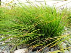 Carex Dissita - Very attractive grass with wide ribbed bright green leaves. Arching habit and beautifully contrasting dark seed heads makes this a popular ornamental grass. Coastal Bathrooms, Coastal Living Rooms, Coastal Cottage, Coastal Homes, Coastal Decor, Coastal Curtains, Coastal Rugs, Coastal Bedding, Coastal Farmhouse