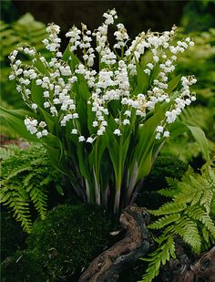 Mr Middleton Garden Shop - Super Value Pack Lily Of  The Valley, €9.95 (http://www.mrmiddleton.com/super-value-pack-lily-of-the-valley/)