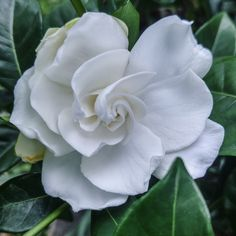 Gardenia   The Texas