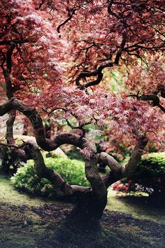 """Fabulous tree, but don't imagine it got this way on its own. Close, artistic and persistent attention to pruning is the main ingredient in the """"wild"""" garden!"""