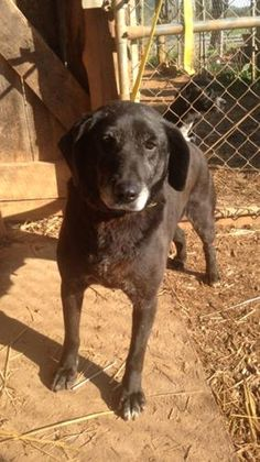 Meet China, a Petfinder adoptable Labrador Retriever Dog   Ross, OH   China is approximately 8 years old female lab and is light Heartworm Positive.  We would love to...