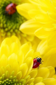 Lady Bugs on a Yellow Flower