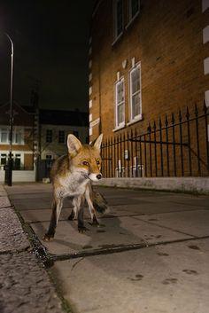 Fox - London