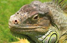 reptile, varan, iguane,