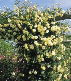 Malvern Hills is one of the very few roses in the world which can truly be described as a repeat-flowering rambler. Trouble free, long trailing growth to 12ft or more. Good choice for walls, arches, trellis. David Austin Roses