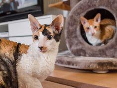 Cornish Rex Cat, Kitty, Animals, Gatos, Little Kitty, Animales, Animaux, Kitty Cats, Animal