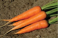 Cheap 100 seeds, Buy Quality carrot seeds directly from China vegetable seeds Suppliers: Our recommended substitute for Hercules - Cordoba Carrots Seeds vegetables seeds SEEDS) Carrot Loaf, Red Carrot, Carrot Seeds, Carrot Salad, Radish Salad, Alkaline Fruits, How To Plant Carrots, Carrots Healthy, Baby Carrots