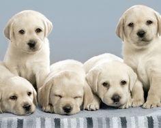 Labrador Retriever puppies                                                                                                                                                      Más