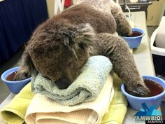 オーストラリアの山火事で手足にやけどを負ったコアラを救え 世界各国から支援の手(画像)
