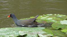 Common Moorhen / Sivhøne / Gallinula chloropus. River Foss, York, Great Britain, June 2014