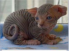 Sphynx kitten, omg all those wrinkles!!!!