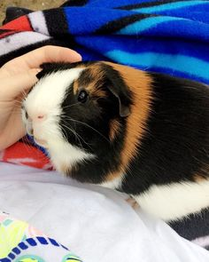 Guinea pig is the best pets