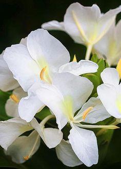 White Ginger Flowers (H Coronarium) by Rich Franco