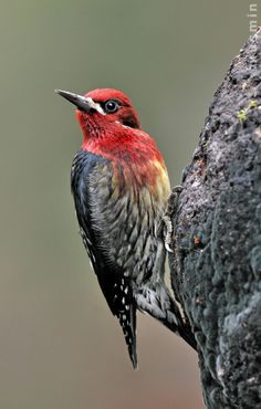 The Red-breasted Sapsucker (Sphyrapicus ruber), is a medium-sized woodpecker of the forests of the west coast of North America. Like other sapsuckers, these birds drill holes in trees and eat the sap as well as insects attracted to it. They sometimes catch insects in flight; they also eat seeds and berries.