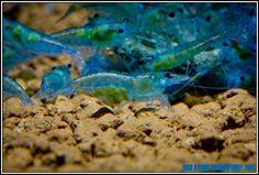 Blue Velvet shrimp! WANNNNTTTT. They breed just as easily in the aquarium as red cherry shrimp, too.