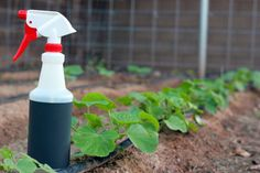 natural poest control spray in garden