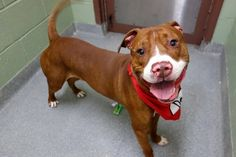 Manhattan Center TODDY aka ROCKIE – A1092762  MALE, RED / WHITE, AM PIT BULL TER MIX, 2 yrs OWNER SUR – EVALUATE, NO HOLD Reason NO TIME Intake condition UNSPECIFIE Intake Date 10/08/2016, From NY 10458, DueOut Date 10/08/2016,