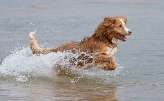 Nova Scotia Duck Tolling Retriever Is A Normal Medium Size Gundog. Check Out The Size, Lifespan, Health Issues, Breeders & More Of Nova Scotia Retriever. Smartest Dog Breeds, Best Dog Breeds, Best Dogs, Nova Scotia Duck Tolling Retriever, Retriever Dog, Hunting Dogs, Dog Training, Training Tips, Training Online