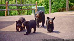 Bear family in the Smokies!
