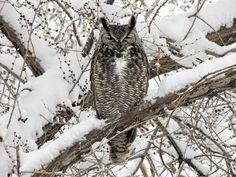 Papa Owl ~ Life at the Rough String Owl Life, Bev Doolittle, Bird Illustration, Native American, Art Gallery, Spring, Winter, Artwork, Google Search