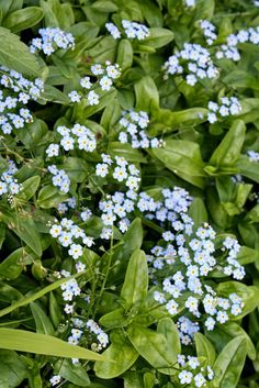 Myosotis palustris 'Southern Blues' (Southern Blues Forget-Me-Not) - sun to part shade Bog Garden, Fairy Garden Plants, Fairy Garden Supplies, Cottage Garden Plants, Rain Garden, Garden Soil, Shade Garden, Summer Flowers To Plant, Planting Flowers