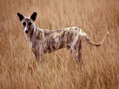 Africanis - what an interesting looking breed of dog ...