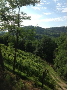 Inizio estate 2014. l vigneto, circondato da boschi di noci e ciliegi selvatici. #viti #uva #vigneto