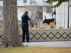 POCATELLO — Police fatally shot a 1,000-pound cow Friday afternoon that had led them on a lengthy chase through the city's north side.