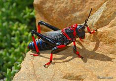 Koppie Foam Grasshopper (Dictyophorus spumans), The red warning colours indicate that this Grasshopper is poisonous. When threatened, it produces highly toxic foam.