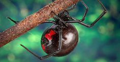 his spider delivers one of the most painful bites that exists. Beware of the larger black widows. Their venom causes latrodectism, a condition that invokes long, painful, constant muscle contractions.