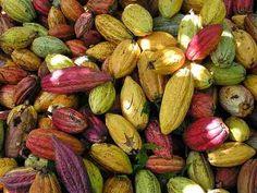 Arbolitos De Cacao - Chocolate - Theobromca Cacao Forastero - $ 180.00