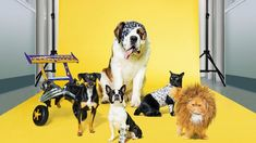 Experts from Fast & Furious and Priscilla Queen of the Desert design animal medical equipment for RACV pet insurance campaign Priscilla Queen, Pet Health Insurance, Desert Design, Lion Mane, Animal Nutrition, Animal Protection, Australian Animals, Medical Equipment, International Artist