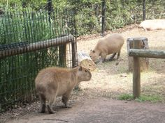 The annual Capybara Onsen at the Saitama Children's Animal Nature park will start from Saturday November 19th until the end of March. The end date will be determined at a later date depending…