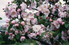 Malus ioensis plena - Google Search