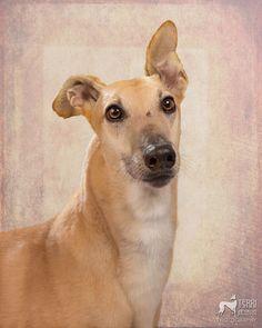 Fawn greyhound—Pete