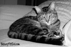 Black & White Sunday - this is the look you get when you interrupt a cat's nap. http://www.thelazypitbull.com/2014/07/black-white-sunday-3/
