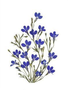 Set of 6 Pressed Flower Cards - Lobelia, Cosmos, Hydrangea #006