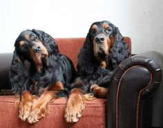 Gordon Setter Dog Photography Puppy Hounds Chiens Puppies