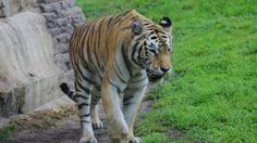 tiger walking, pangani forest, asia, animal kingdom, walt disney world tami@goseemickey.com