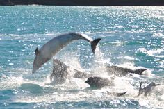 Bottlenose dolphins, Akaroa Harbour, New Zealand Bottlenose Dolphin, Dolphins, New Zealand, Places Ive Been, Creatures, Sea, Whales, Turtles, Awesome