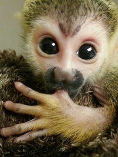 D'aaaaaawwwww!  Baby Kingston the Squirrel Monkey was born on August 17. Sadly, his mother rejected him. Best guess she was a first time mom and didn't know what to do. Due to being such a tiny one he needs constant care and feeding. The first week he was eating every 2 hours, so everyone who is willing at WLC is sharing the responsibility of his care so one person doesn't get too worn out.