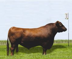 Grand Prix - Red Angus