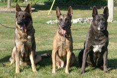 Blue Dutch Shepherd | Blue German Shepherd, Blue Belgian Malinois & Blue Dutch Shepherd at ...