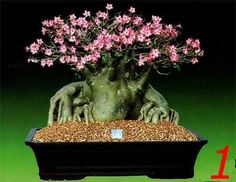 Adenium Thai Socotranum - O Mais Raro-caro-exótico- Lindos - R$ 10,00