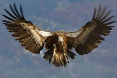 Griffon Vulture in Flight- the Inspiration Photo for step-by-step drawing instructions.