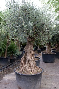 I've got a young olive tree in a terracotta pot but I won't live long enough to see it look gnarled and interesting like this one so I'd love to win an ancient olive tree!