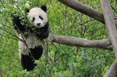 Panda boy Fu Bao, 16.April 2014, Zoo Vienna