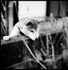 Yes, sometimes I think dogs are cute. I like Shiba Inus.